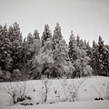 Trees In Snow by Mike Agentis