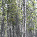 Trees In The Absarokee Beartooth Wilderness Area by Janis Beauchamp