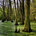 Trees In The Swamp by Larry Braun