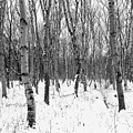 Trees In Winter Snow, Black And White by Joseph Gaul