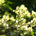 Trees Landscape Art Sunlit White Dogwood Flowers Baslee Troutman by Baslee Troutman