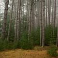 Trees On A Foggy Autumn Day 1 by Nancy De Flon