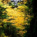 Trees Over The Flumes Gorge by Catherine Gagne