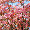 Trees Pink Spring Dogwood Flowers Baslee Troutman by Baslee Troutman