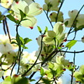 Trees White Dogwood Flowers 9 Blue Sky Landscape Art Prints by Baslee Troutman