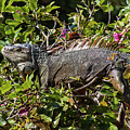 Treetop Iguana by Bob Slitzan