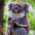 Treetop Koala by Mike  Dawson