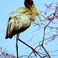 Treetop Stork by John Wall