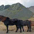 Tri - Color Icelandic Horses by Dubi Roman