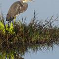 Tri-colored Heron And Reflection by David Watkins