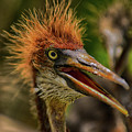 Tri Colored Heron Chick by Dick Hudson
