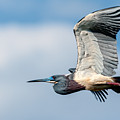 Tri-colored Heron In Flight by Christopher Holmes