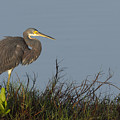 Tri-colored Heron In The Morning Light by David Watkins