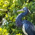Tri-colored Heron Plumage by Paula Porterfield-Izzo