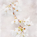 Triadelphia Cherry Blossoms by Jill Love