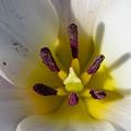 Triangular Shaped Tulip by Steve Samples