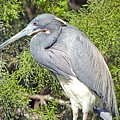 Tricolor Heron Profile by Kenneth Albin