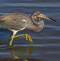 Tricolored Heron 1 by Jerry Fornarotto