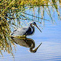 Tricolored Heron 2 by Ben Graham