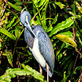 Tricolored Heron 3 by Ben Graham