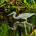 Tricolored Heron 5 by Ben Graham