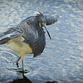 Tricolored Heron by Carolyn Marshall