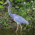 Tricolored Heron Hunting by Mike Dawson