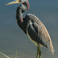 Tricolored Heron by Peg Urban