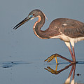 Tricolored Heron Stepping by Jerry Fornarotto