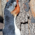 Tricolored Squirrel by Kenneth Albin