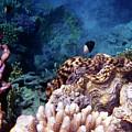 Tridacna Squamosa  by Johanna Hurmerinta