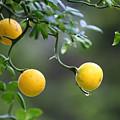 Trifoliate Orange by Inho Kang
