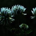 Trifolium Montanum by Peter Pier