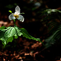 Trillium In The Woods by Sharon Talson