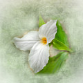 Trillium Wildflower  by Kerri Farley