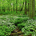 Trillium Woods Vi by Debbie Oppermann