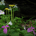 Trilliums And Dandelions by Les Palenik