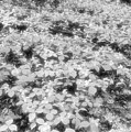 Trilliums On The Forest Floor Bw by Lyle Crump