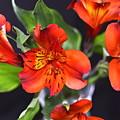 Trio Of Alstroemeria Inca Flowers-4 by Jennifer Wick
