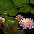 Trio Of Pink Lotus Waterlilies by Jackie Irwin