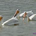 Trio Pelicans by Wendy Fox