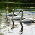 Triplet Swans by September  Stone