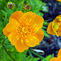 Trollius Blossom by William Tasker