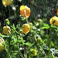 Trollius Europaeus Spring Flowers In The Rain by Tamara Sushko