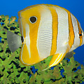 Tropical Fish Butterflyfish. by MotHaiBaPhoto Prints