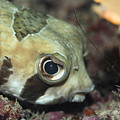 Tropical fish Porcupinefish  by MotHaiBaPhoto Prints