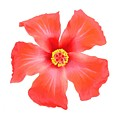 Tropical Hibiscus Flower Vector by Taiche Acrylic Art
