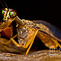 Tropical Mantispid by Dant� Fenolio