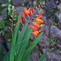 Tropical Orange Lily by Douglas Barnett