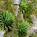 Agave Plants On Rocky Slope by Les Palenik
